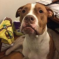 Boxer/Pit Bull Terrier Mix Dog for adoption in Boston, Massachusetts - HANK