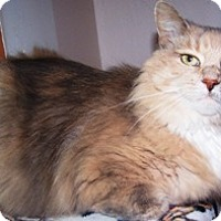 Calico Cat for adoption in Sistersville, West Virginia - Shelby
