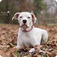 Adopt A Pet :: Ambrosia - Virginia Beach, VA
