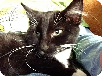 Domestic Shorthair Cat for adoption in Houston, Texas - BONNIE