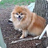 Adopt A Pet :: Lassie - Eastpointe, MI