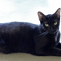 Domestic Shorthair Cat for adoption in Carencro, Louisiana - Liquorice