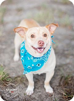 Chihuahua Mix Dog for adoption in Kingwood, Texas - Piglet