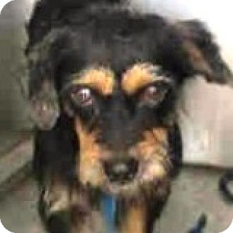 Dachshund Dog for adoption in Houston, Texas - Ralphie Riviera