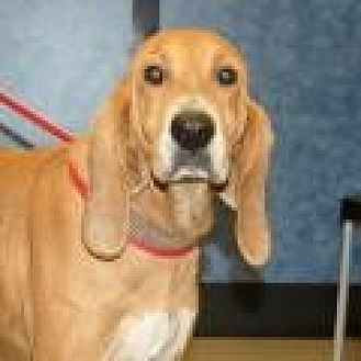 Hound (Unknown Type) Mix Dog for adoption in Stafford, Virginia - Casey