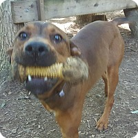 Labrador Retriever/Redbone Coonhound Mix Dog for adoption in Maryville, Tennessee - Simon