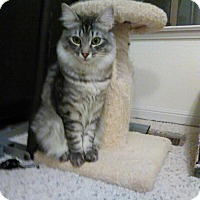 Domestic Mediumhair Kitten for adoption in Redwood City, California - Aspen