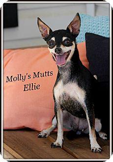 Chihuahua/Miniature Pinscher Mix Dog for adoption in Dixon, Kentucky - Ellie