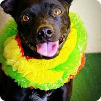 Adopt A Pet :: Tyson - Casa Grande, AZ