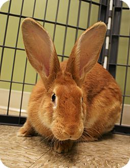 Flemish Giant Mix for adoption in Hastings, Nebraska - Willow