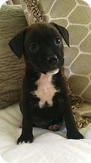 Labrador Retriever/Boxer Mix Puppy for adoption in Eden Prairie, Minnesota - Brookes