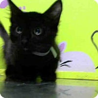 Domestic Shorthair Kitten for adoption in Houston, Texas - OLIVER