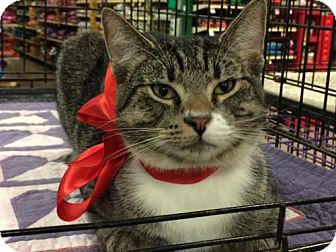 Domestic Shorthair Cat for adoption in Wilmore, Kentucky - Sprint