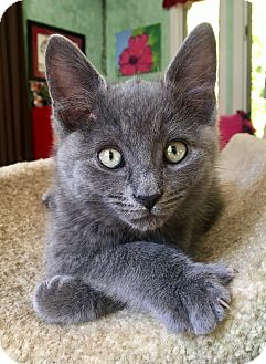 Domestic Shorthair Kitten for adoption in Southington, Connecticut - Versace