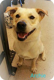 Labrador Retriever/Shiba Inu Mix Dog for adoption in Boston, Massachusetts - A - ARCHIE