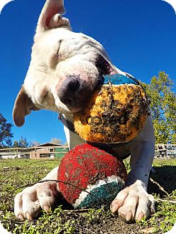 American Staffordshire Terrier/American Pit Bull Terrier Mix Dog for adoption in Los Olivos, California - Clarence