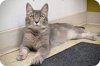 Domestic Shorthair Cat for adoption in Manitowoc, Wisconsin - Annabelle