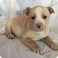 Adopt A Pet :: Gus - Mooresville, NC
