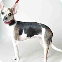 Adopt A Pet :: BEBOP - Ukiah, CA