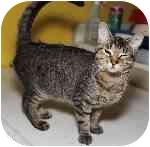 Domestic Shorthair Kitten for adoption in Cleveland, Ohio - Baboo