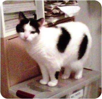 Domestic Shorthair Cat for adoption in Medford, Massachusetts - Babe