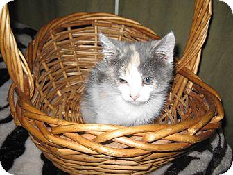 Domestic Shorthair Kitten for adoption in Clearfield, Utah - Mamba