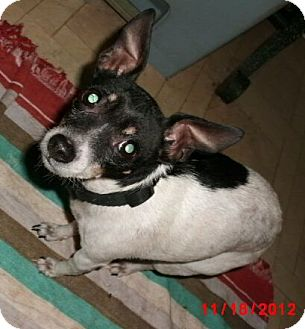 Rat Terrier Mix Dog for adoption in Germantown, Maryland - MInnie