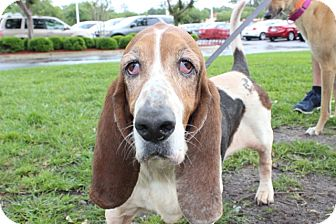 Basset Hound Dog for adoption in Gainesville, Florida - Kendall