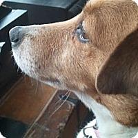Adopt A Pet :: Daisy - Mount Kisco, NY