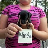 Adopt A Pet :: Winston - Malaga, NJ