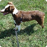 Adopt A Pet :: Lolli - Russellville, KY
