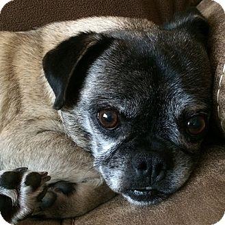 Pug Dog for adoption in Grapevine, Texas - Fiesta