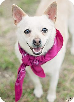 chihuahua rescue houston houston tx chihuahua mix meet tula a dog for adoption 5525