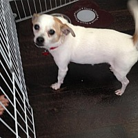 Chihuahua/Jack Russell Terrier Mix Dog for adoption in Rancho Santa Margarita, California - ZZ-Dino  **courtesy post