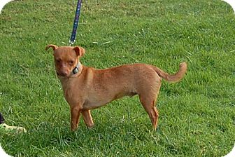 Dachshund/Chihuahua Mix Dog for adoption in Riverside, California - RED