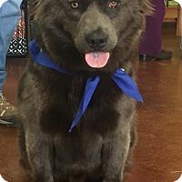 Adopt A Pet :: Caboose - Potomac, MD