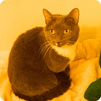Domestic Shorthair Cat for adoption in Jupiter, Florida - Cali