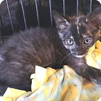 Adopt A Pet :: Toffee - Glendale, AZ