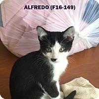 Adopt A Pet :: Alfredo - Tiffin, OH
