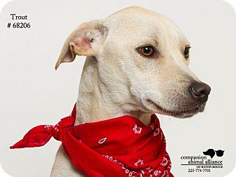 Labrador Retriever Mix Dog for adoption in Baton Rouge, Louisiana - Trout (Foster)
