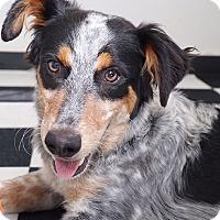 Adopt A Pet :: Archie - Sudbury, MA