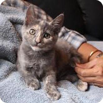 Domestic Shorthair Kitten for adoption in San Carlos, California - Shakti