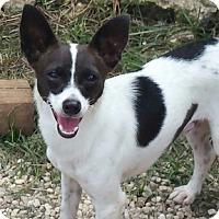 Rat Terrier Mix Dog for adoption in Shreveport, Louisiana - Herby K