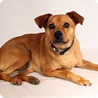 Adopt A Pet :: Marley Terrier - St. Louis, MO