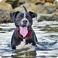 Adopt A Pet :: Batman - Clearwater, FL