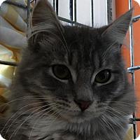 Domestic Longhair Kitten for adoption in Naugatuck, Connecticut - Mr Peaches