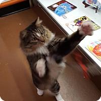 Domestic Longhair Cat for adoption in Blasdell, New York - Dakota