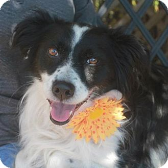 Border Collie Dog for adoption in Garfield Heights, Ohio - Brooklyn