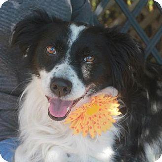 Border Collie Dog for adoption in Garfield Heights, Ohio - Brooklyn