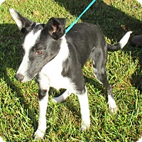 Border Collie Mix Puppy for adoption in Reeds Spring, Missouri - Gilbert